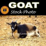 Goat Stock Photo #219