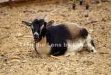 Goat on the Farm Stock Photo #219