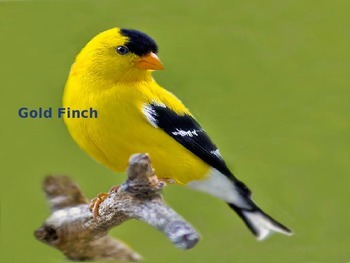 Gold Finch - Bird - Power Point - Facts History Pictures