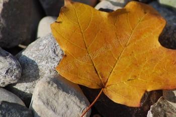 Golden Autumn Leaf Stock Photo