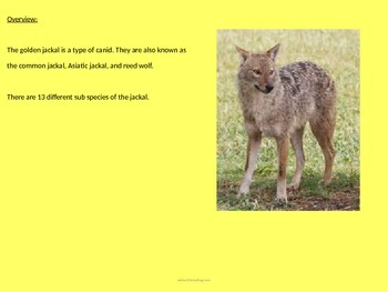 Golden Jackal - Power Point - Information Facts Pictures