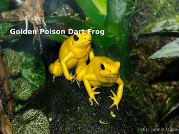 Golden Poison Dart Frog - Power Point - Information Facts