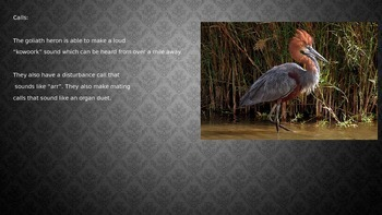 Goliath Great Heron - Power Point - Information Facts Pictures