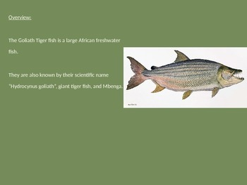 Goliath Tiger Fish - Power Point Information Pictures Facts