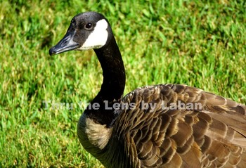 Goose Stock Photo #182