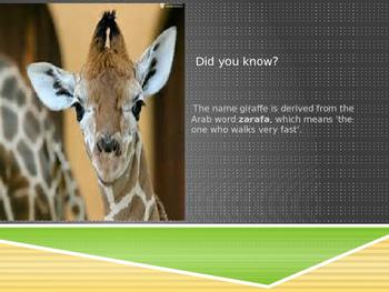 Mammals-Graceful Giraffee