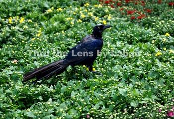 Grackle Bird Stock Photo #208