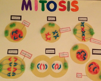 Grade 10 and 11 Mitosis Cut and Paste Activity!