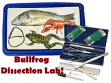 Grade 11 and 12 Animal Structure and Function- Bullfrog DISSECTION Lab!