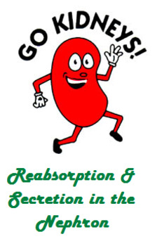 Grade 11 and 12 Homeostasis Lesson- Reabsorption and Secretion in the Nephron!
