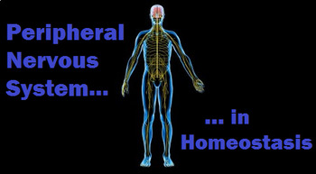 Grade 11 and 12 Homeostasis Lesson- The Peripheral Nervous System!