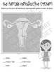 Grade 5 Puberty - Reproductive Systems Worksheets