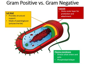 Gram Stain - Gram Positive vs. Gram Negative