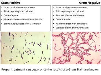 what is gram negative bacteria pdf