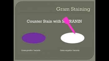 Gram Staining Bacteria Animation