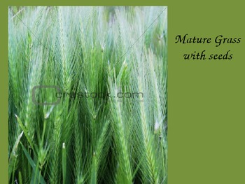 Grass Life Cycle Powerpoint