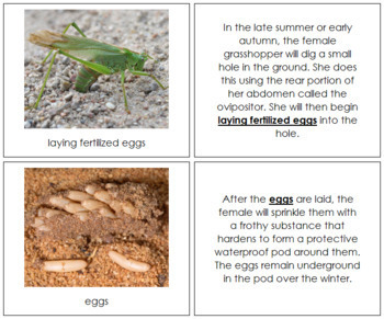 Grasshopper Life Cycle Nomenclature Book