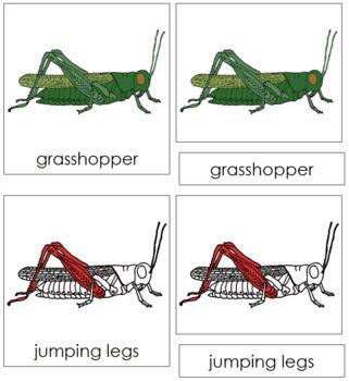 Grasshopper Nomenclature Cards (Red)