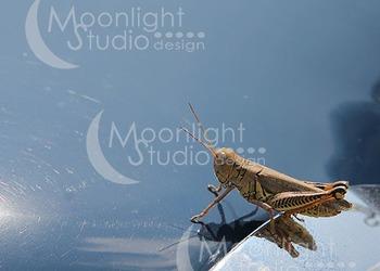 Grasshopper Photograph, Grasshopper Photo
