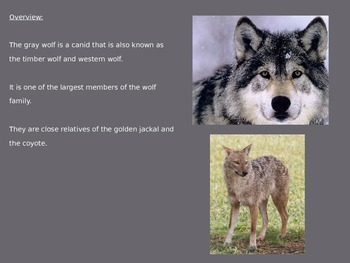 Gray (Grey) Wolf - Power Point Information Facts Pictures History 11 Slides