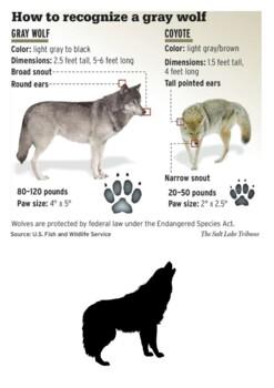 Gray wolf Handout
