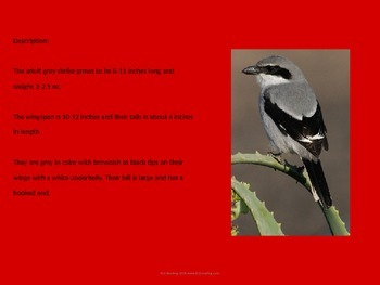 Great Grey Gray Shrike - Bird - Power Point Information Facts Pictures