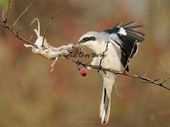 Great Grey Gray Shrike - Bird - Power Point Information Fa