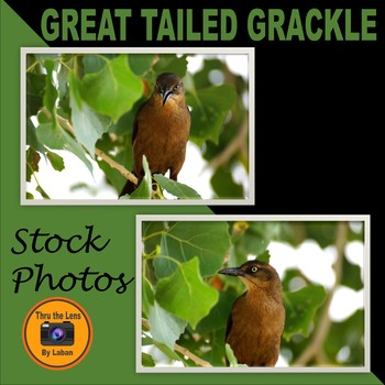 Great Tailed Grackle Bird Stock Photos #194 and #195