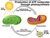 Greed!! (AP Biology Review Game #2) Cell Structure, Cell T