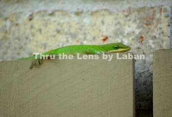 Green Lizard Stock Photo #94