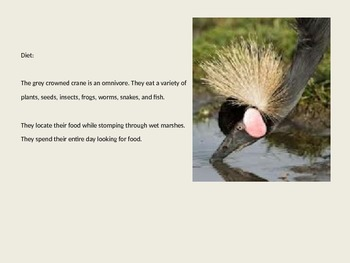 Grey Crowned Crane - Bird Powerpoint Information Pictures