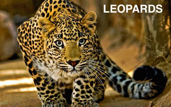 Group Posters - Group 3 - Leopards