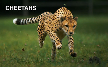 Group Posters - Group 4 - Cheetahs