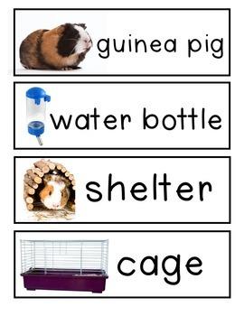 Guinea Pig Classroom Pet