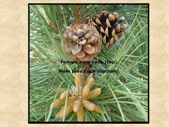 Gymnosperm Reproduction Powerpoint