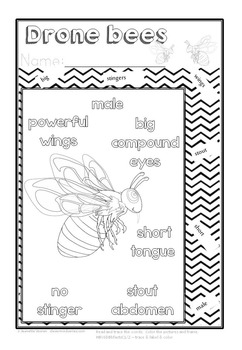 HONEYBEE FACTS: DRONE BEES- DIFFERENTIATED WORKSHEETS-SET 2-PORTRAIT-8b2