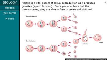 HS Biology - Cells - Meiosis PPT