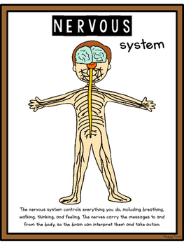 HUMAN BODY SYSTEMS POSTERS digestive nervous skeleton