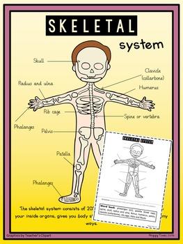HUMAN SKELETAL SYSTEM DIAGRAM Poster and Labelling Activity Worksheet skeleton