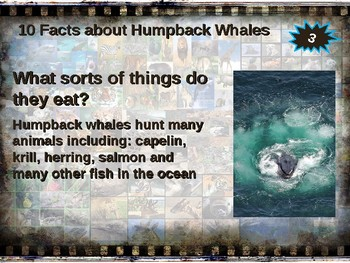 HUMPBACK WHALES: 10 facts. Fun, engaging PPT (w links & free graphic organizer)