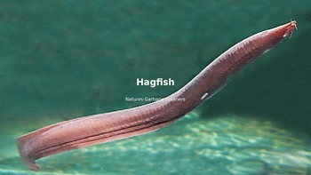 Hagfish - Power Point - Information Facts Pictures All the Facts