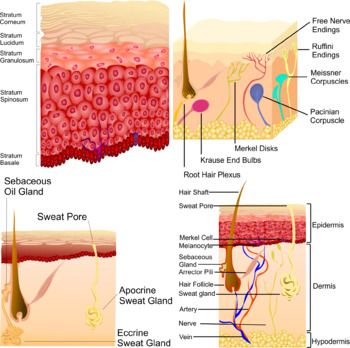 Hair, Skin, And Nails (Integumentary System) Clip Art