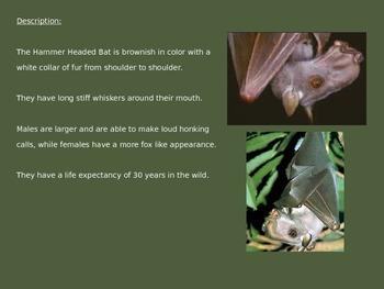 Hammer Headed Bat - Power Point - Information Pictures History Facts