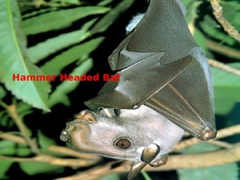 Hammer Headed Bat - Power Point - Information Pictures His
