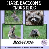 Hare, Raccoon, Groundhog Stock Photos - Personal and Comme