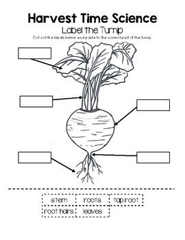 Harvest Time Science - Label the Turnip Worksheet