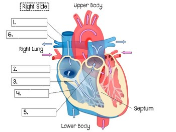 Heart Anatomy & Blood Flow Booklet
