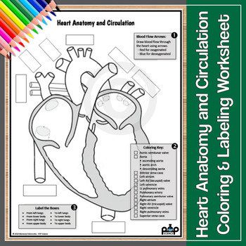 Heart Anatomy and Circulation Worksheet: Color & Label by ...