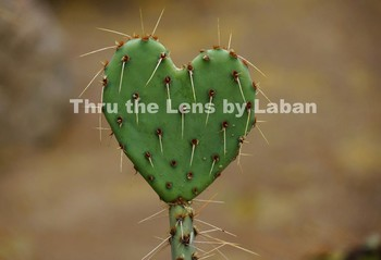 Heart Cactus Stock Photo #107