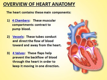 Heart Circulation - PowerPoint {Editable}